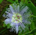 PassionflowerPassifloraincarnata